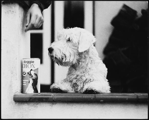 A lucky white Sealyham terrier dog with its box of 'Doggie Chox&#39