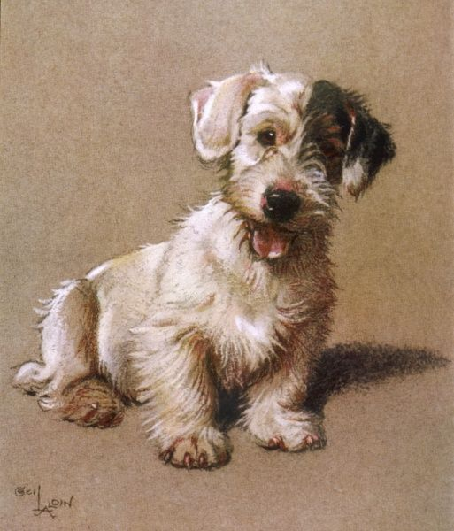 Sealyham Terrier with its tongue hanging out