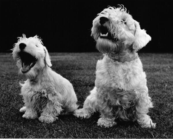 Two Sealyham terriers, one of them yawning