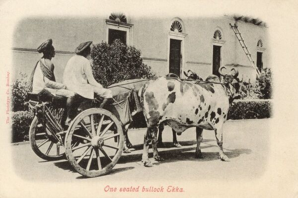 A one-seated Bullock ekka in India - a ype of carriage used in India, usually pulled by horses. Ekkas (the word is Hindi in origin) were commonly used as cabs, or private hire vehicles. Date: circa 1904