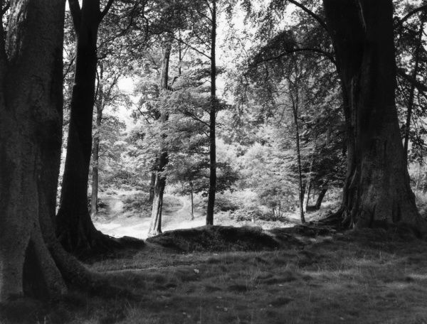 A sunlit and shady glade in the woods at Alderley Edge, Cheshire, England. Date: 1960s