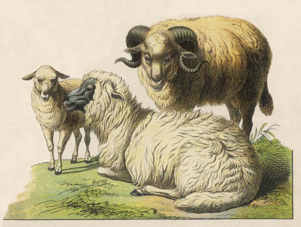 A ram, a ewe and a lamb