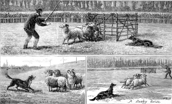Engraving showing a number of scenes from the Sheep Dog Trials held at the Alexandra Palace, London, in 1882