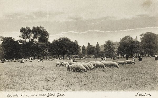Sheep grazing in Regents Park, London near the York Gate. Sheep had ceased grazing in the major London parks by the mid 1930s