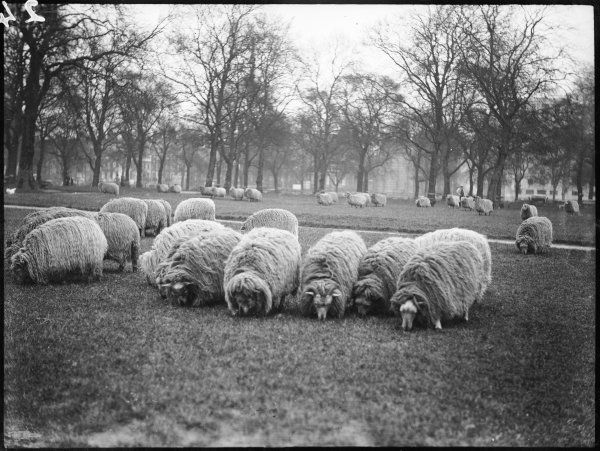 A pastoral scene, not usually seen in London - Scottish sheep grazing in Hyde Park during the war years