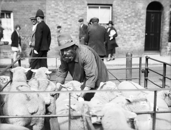Joe, a well-known sheep marker at Sandwich market, followed the same trade for fifty years. Here, he sorts the sheep in the pen