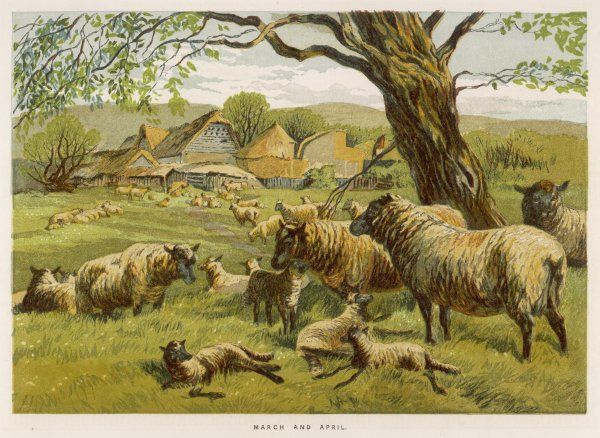 Sheep and lambs in a meadow on a spring day, to illustrate the months of March and April
