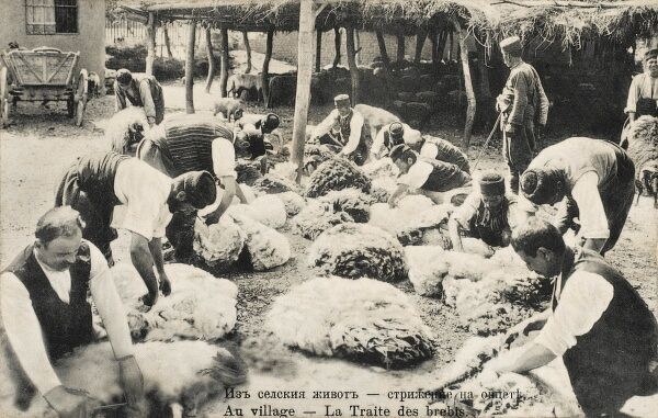 Sheep Shearing in Bulgaria - tying up the recently-shorn fleeces