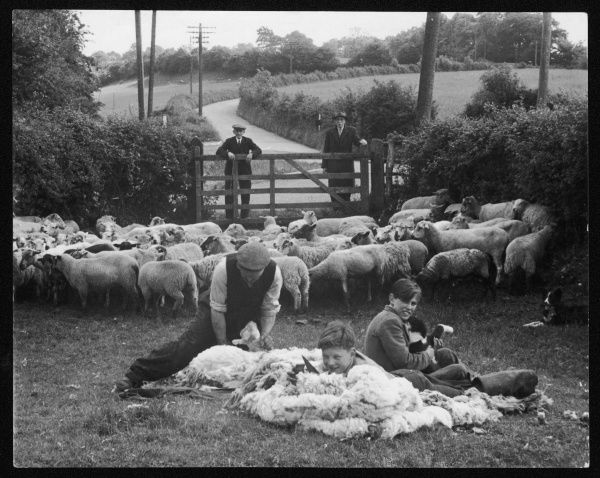 Shearing sheep, Wales