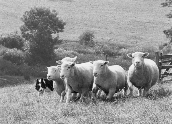 A sheepdog guides a flock of sheep in the right direction