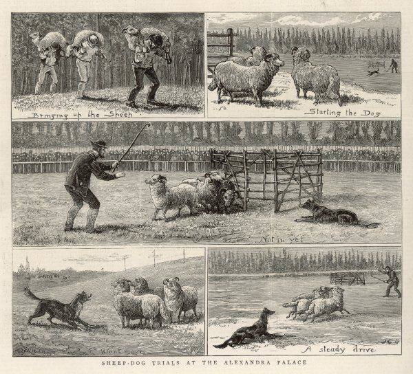 Sheepdog Trials. Bringing in the sheep, starting the dog, driving the sheep and finally trying to get them into the pen