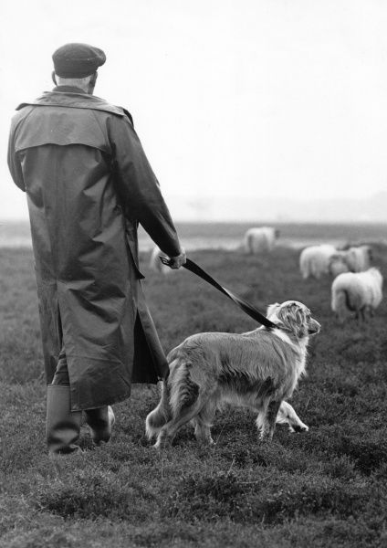 A shepherd out in the fields with his dog on a lead, and a few sheep ahead of them