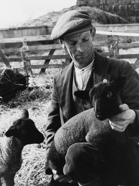 An Essex shepherd with a lovely pair of black-faced Suffolk lambs, England