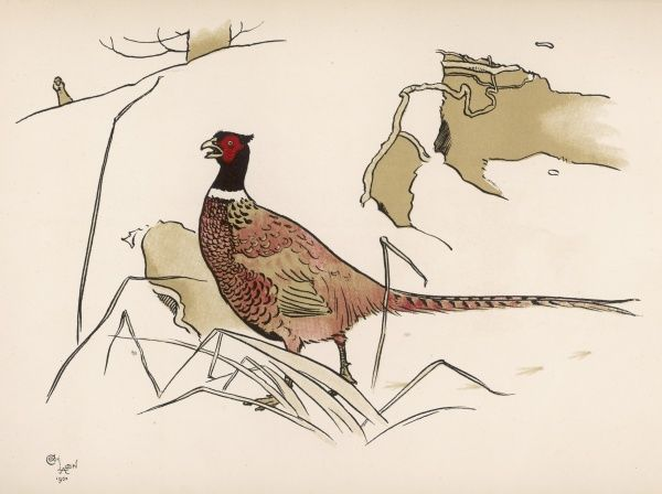 A nervous-looking pheasant, no doubt sensing that someone is nearby with a gun!