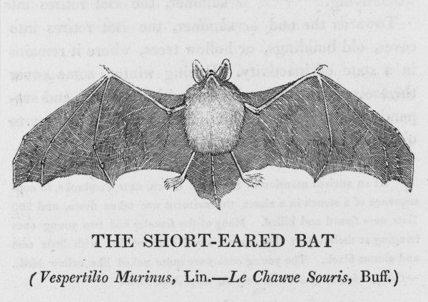 SHORT-EARED BAT vespertilio murinus can be distinguished from the long-eared bat by the fact that its ears are shorter. Also it's twice the size