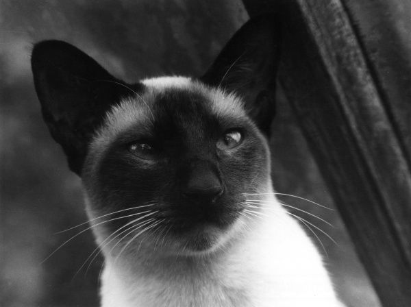 Study of the head and face of a Siamese cat. Date: 1960s
