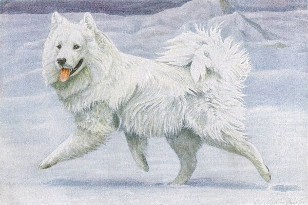 Siberian Reindeer Dog or Samoyed, running in the snow Date: 20th century