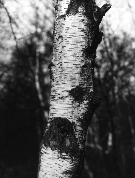 The bark of a Silver Birch tree. Date: February 1939