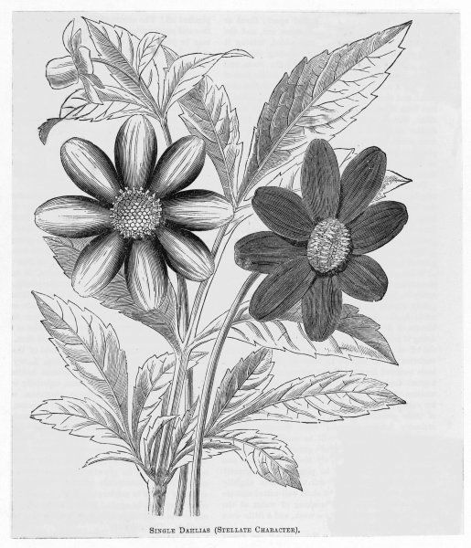 Single Dahlias with stellate character
