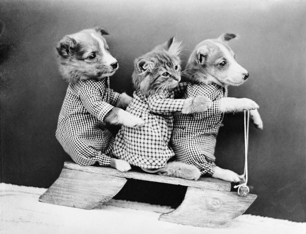 Two dogs and a cat on a wooden sledge. Date: early 1930s