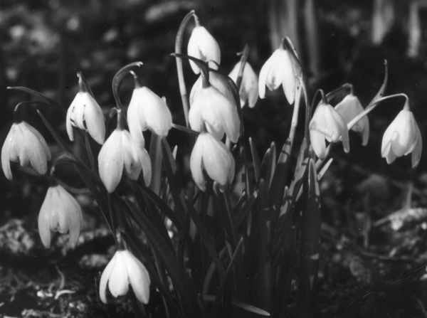 Snowdrops, some of Spring's earliest and well-loved flowers. Date: 1950s