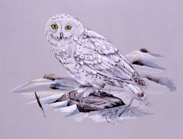 A Snowy Owl (Bubo scandiacus). Painting by Malcolm Greensmith