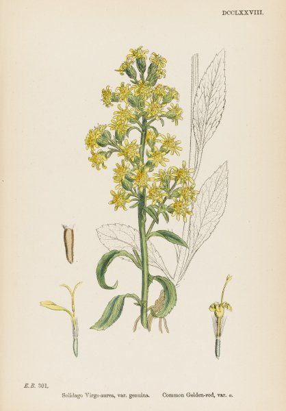 (var. genuina) COMMON GOLDEN-ROD