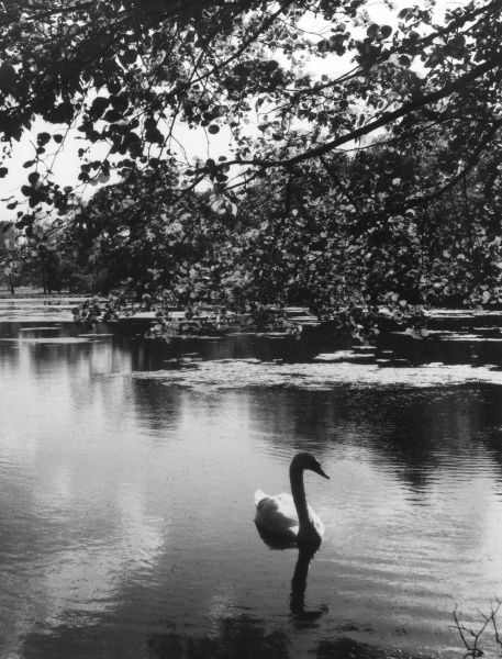 'Solitude' - a solitary swan on Scotland Lake, Grendon, Northamptonshire, England, a lake on the estate of Lord Northampton. Date: 1960s