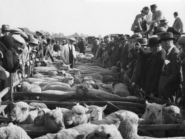 A typical scene at a sheep sale at Bridgewater, Somerset, England, at one of the annual fairs, held towards the end of September each year