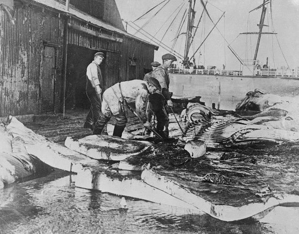 Fishermen sorting out whale blubber on shore. Date: 1930s