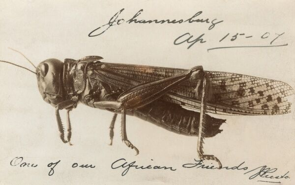 'One of our African Friends' - a South African locust from Johannesburg. Date: 1907