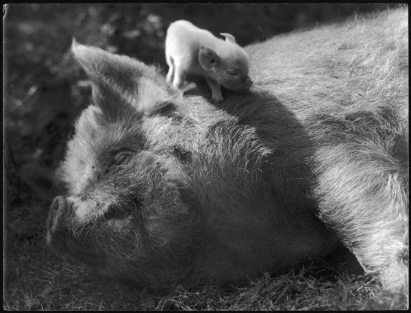 A sleeping old sow and her wee piglet, perched on her neck!