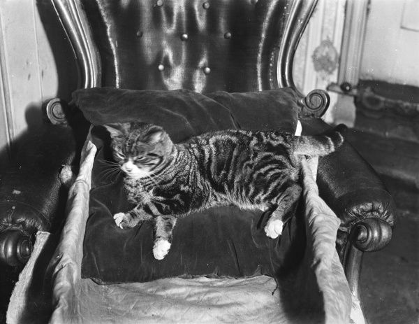 A spoilt young cat reclining on a velvet cushion on a leather armchair!