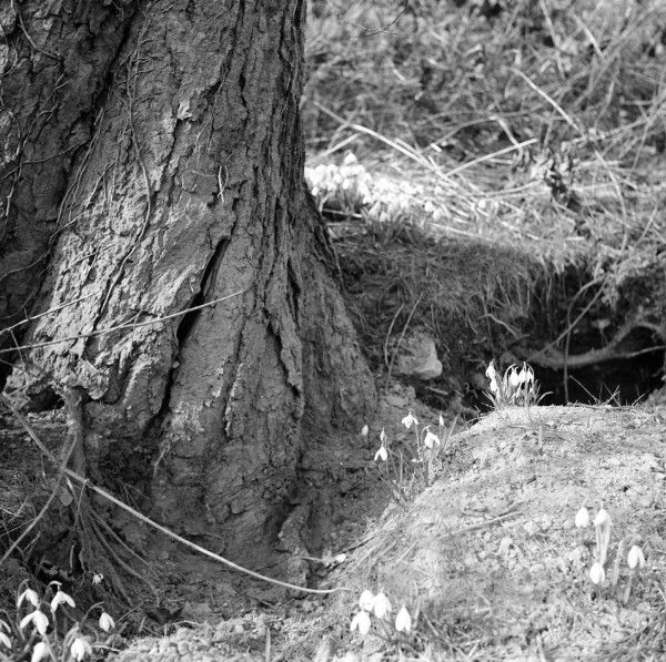 Spring Snowdrops grow up around the base of an old tree. Photograph by Norman Synge Waller Budd
