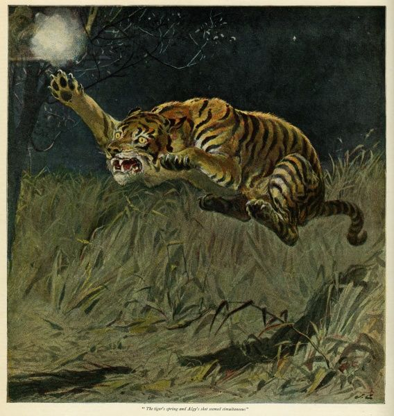 A fierce tiger leaps at full stretch towards a hunter. Date: 1894