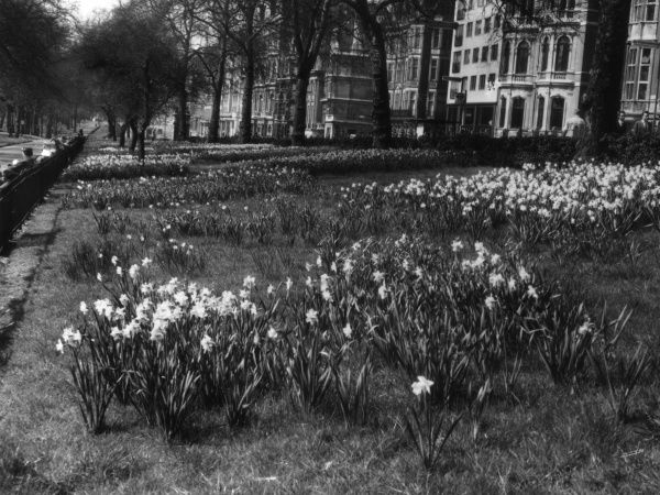 Springtime in London : Daffodils in Green Park, with Piccadilly in the background. Date: 1950s