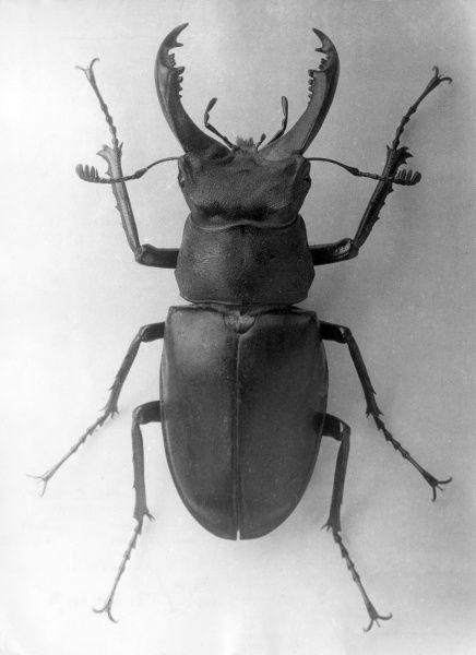 A Stag Beetle. Date: 1960s