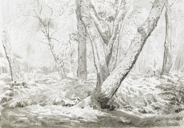 Stanmore Common woodland. Pen & ink (with wash) sketch by Raymond Sheppard