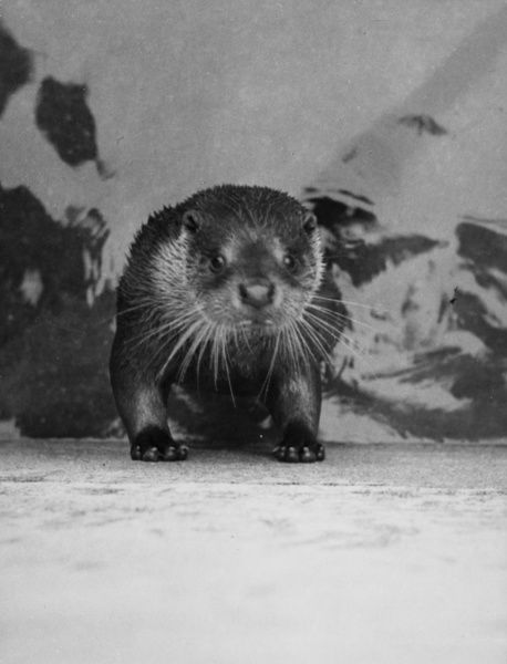 Utterly Otterly - study of a startled otter! Date: 1950s