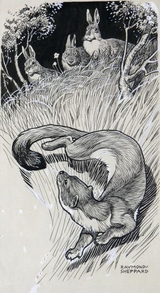 A pen & ink illustration of a stoat and a group of rabbits. Illustration by Raymond Sheppard