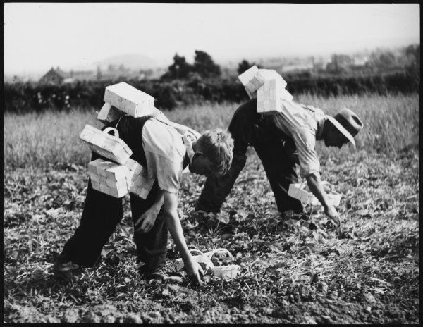 A boy and a man picking strawberries in a field, with punnets strapped to their backs, on a farm near Cheddar, Somerset, England