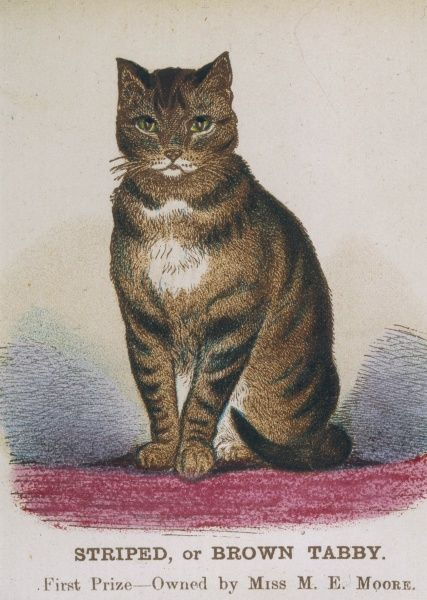 A striped or brown tabby cat