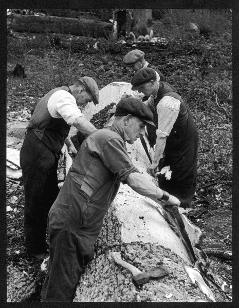 Four working class men in flat caps work as a team, stripping bark off a huge oak tree, which has been felled for tanning
