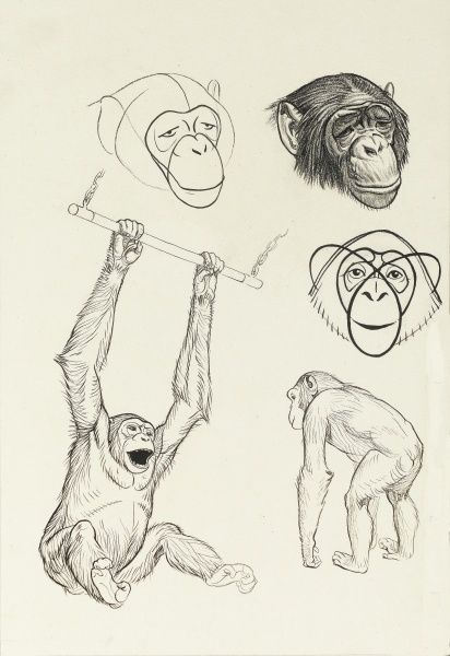 Studies of chimpanzees, including one swinging from a bar