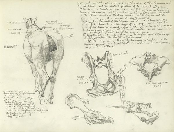 Studies of the pelvis of a horse, including a rear view of a horse and annotated studies of individual bones