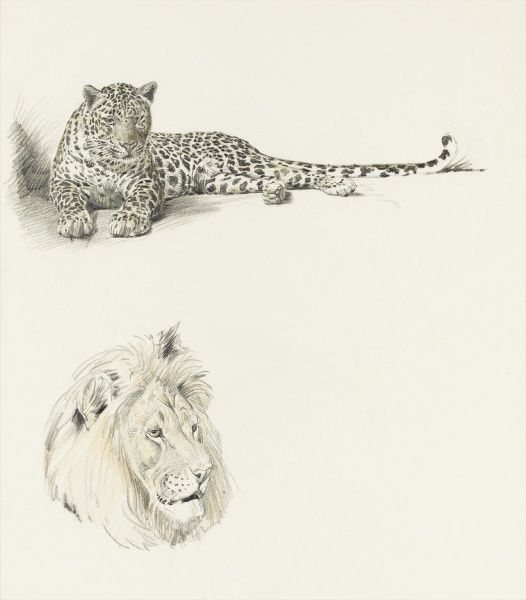 Studies of a Leopard and a Lion by Raymond Sheppard