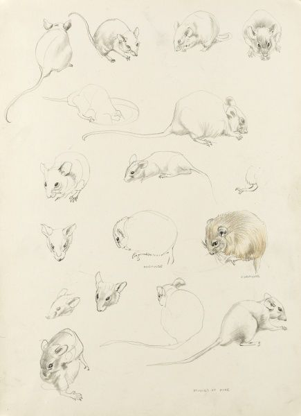 Studies of Mice by Raymond Sheppard