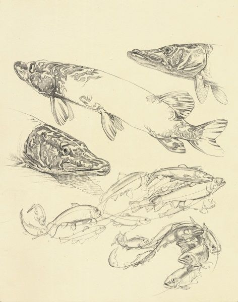 Studies of pike and other fish from 'Drawing at the Zoo' published in 1949
