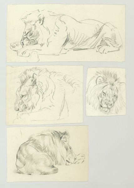 Studies of a resting male Lion