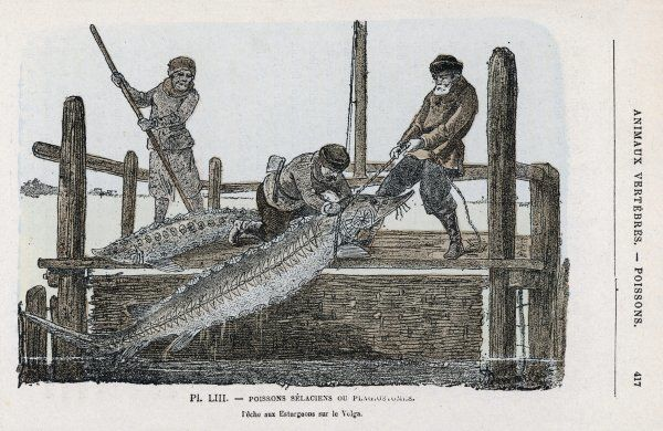 Fishing for sturgeon (the source of caviar) in the Volga River, Russia